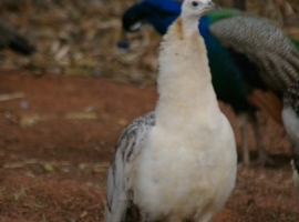 Albino front view 2