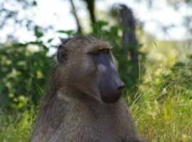 Baboon closeup