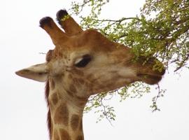 Giraffe closeup2