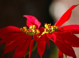 Pointsettia bloom
