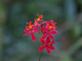 Red orchids